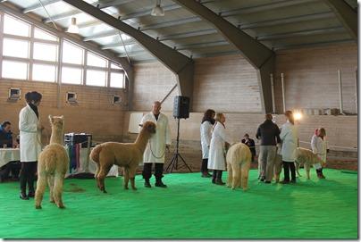 Norsk alpakkautstilling 2013: Big Bang viser seg fram