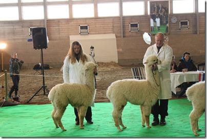 Norsk alpakkautstilling 2013: Dolce Mio med Nina og Rain Dancer med Rolf