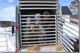 Norsk alpakkautstilling 2013: Hjemme igjen!