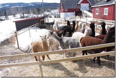 Norsk alpakkautstilling 2013: Alle alpakkaer er strålende glade!