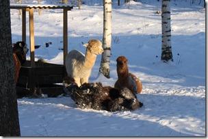 Kullsvarte NC Twilight Cool koser seg i snøen. En fantastisk flott alpakka